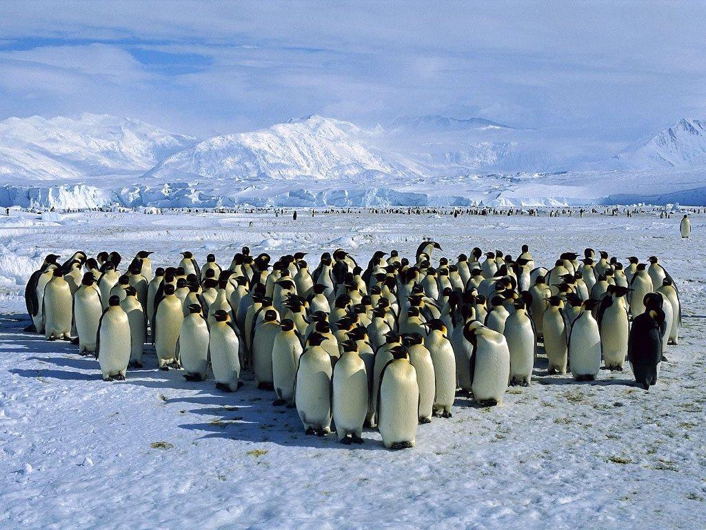 Результат 22 лет исследований: Потомство пингвинов зависит отколичества съеденных креветок