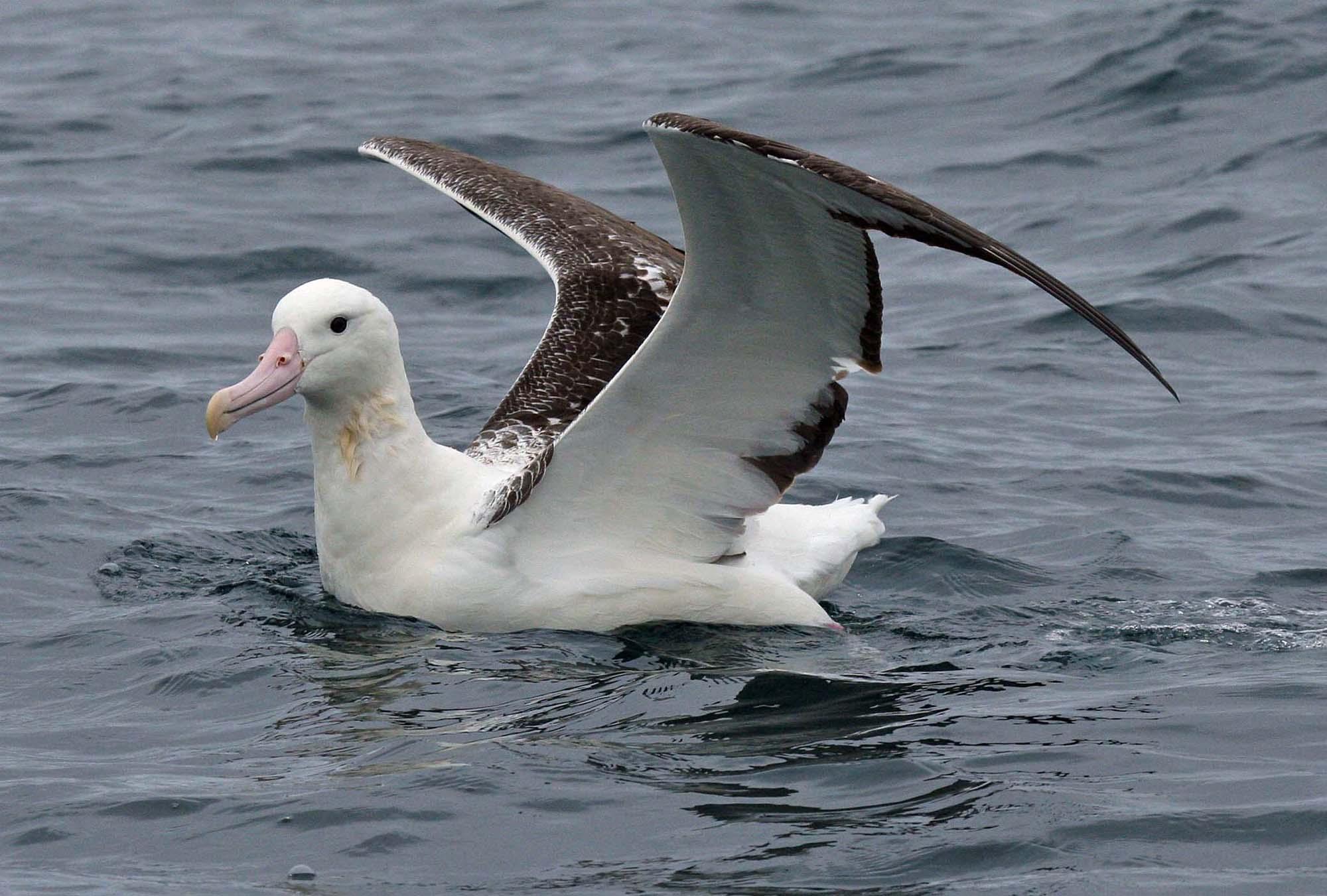 Ученые подсчитали количество альбатросов напланете при помощи актуальных насегодняшний день технологий