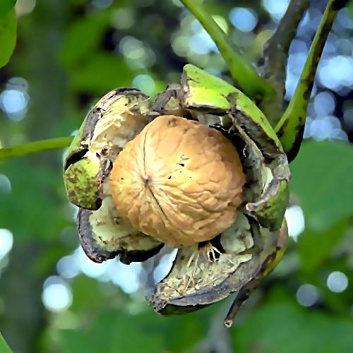 ВДинском районе открыли ореховый питомник за1 млрд руб.