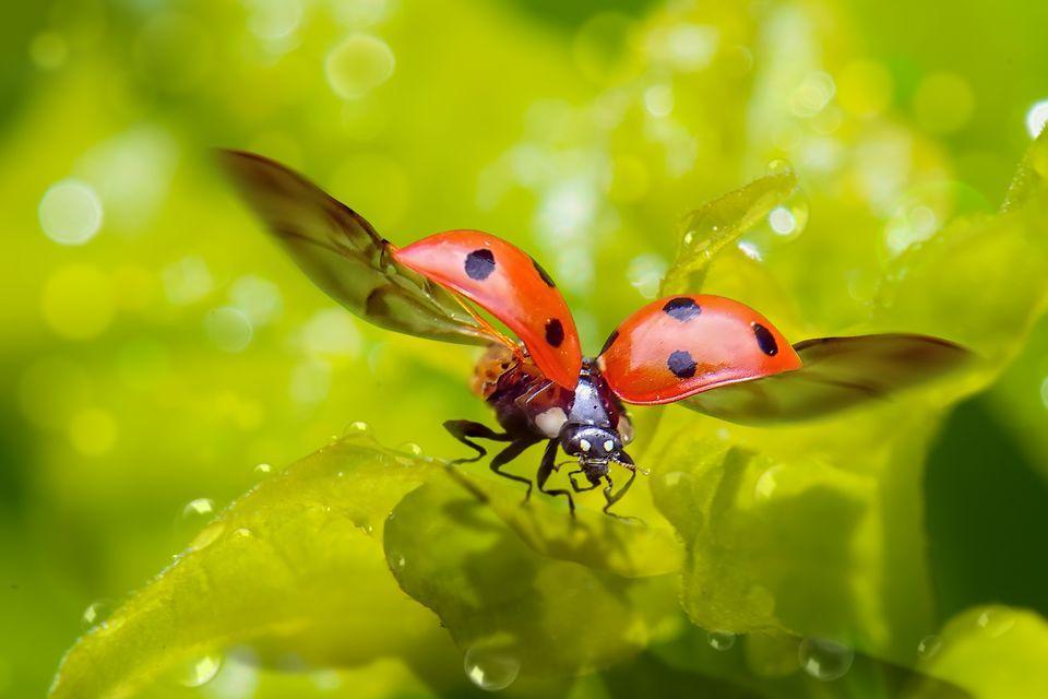 Ученые выяснили как складываются крылья у божьих коровок