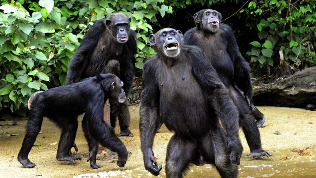 Ученые развеяли миф о суперсиле шимпанзе