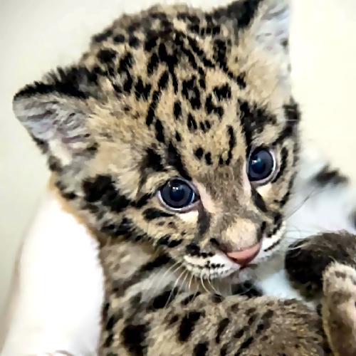 Суд запретил объявления винтернете опродаже леопардов наСтаврополье