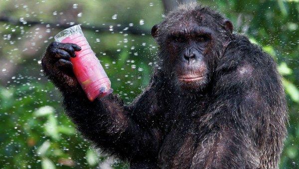 ВЯпонии шимпанзе обучили играть в«камень, ножницы, бумага»