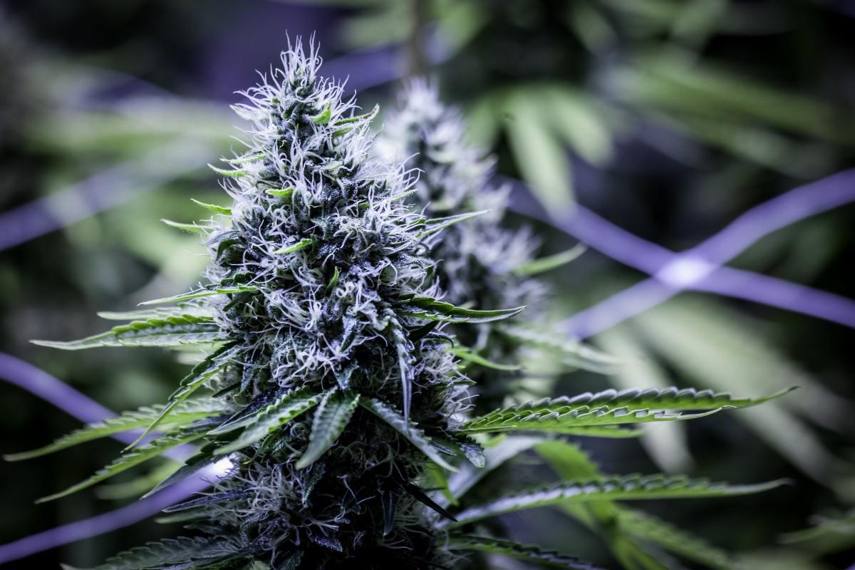 Следы марихуаны вгрудном молоке сохраняются 6 дней— Ученые