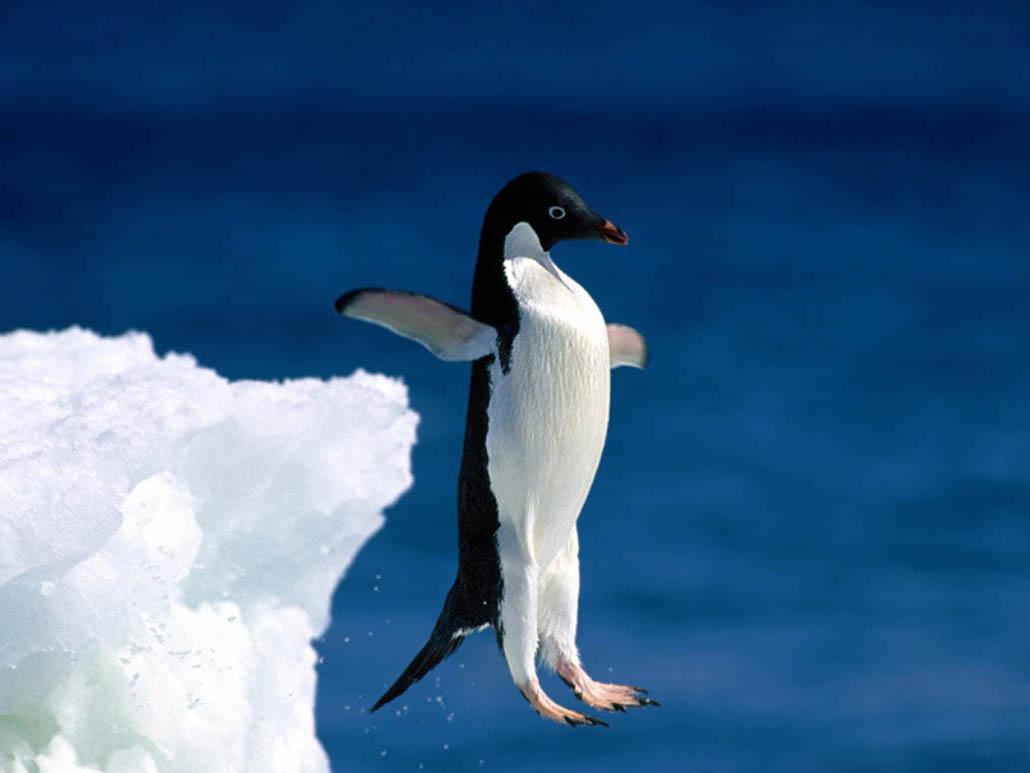 Ученый изсоедененных штатов пояснил, почему, имея крылья, пингвины плавают, однако нелетают