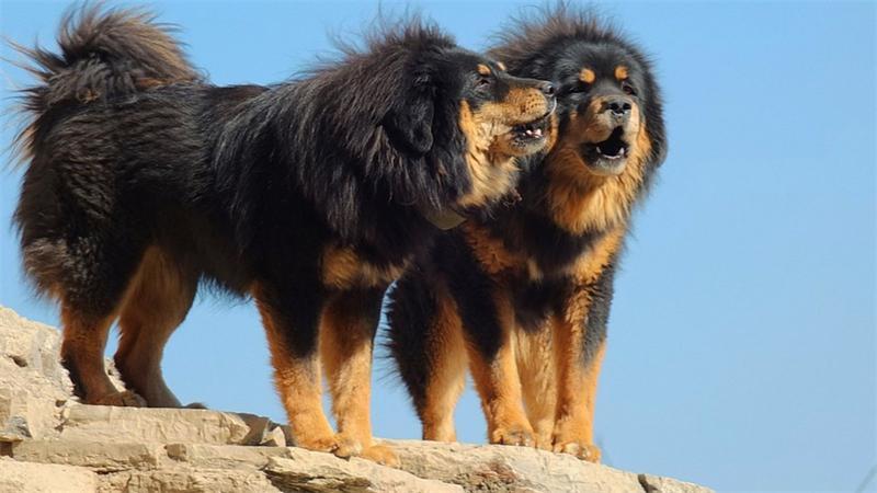 Ученые впервые собаку приручили в Непале и Монголии