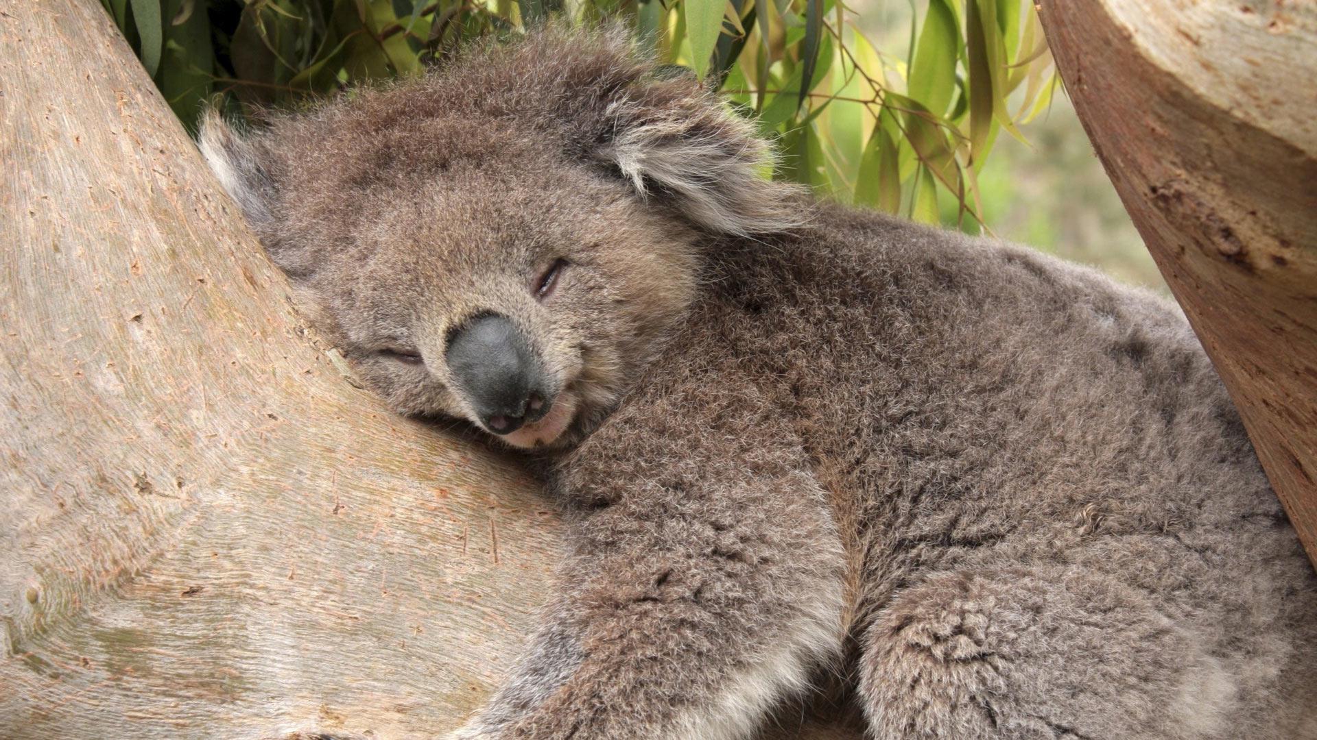 Австралия должна перейти налетнее время ради спасения коал