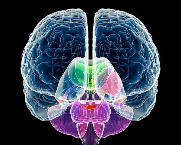 Мозг может раскалываться начасти— ученые