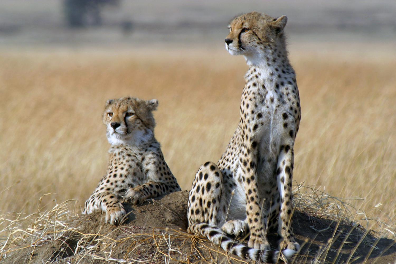 Ученые: Популяция гепардов уменьшается катастрофическими темпами